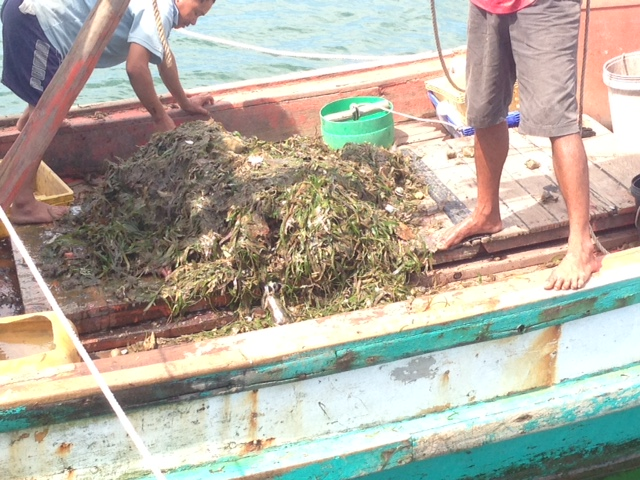 Trawled up Seagrass