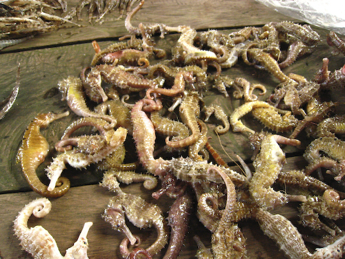 Volunteer to protect Cambodian Seahorses